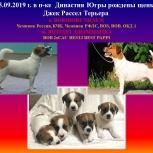 Джек Рассел Терьер, Томск