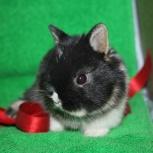 Крольчата вислоухие и торчеухие карликовые, Томск