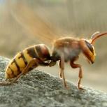 Шершни осы уничтожить травить вывести, Томск